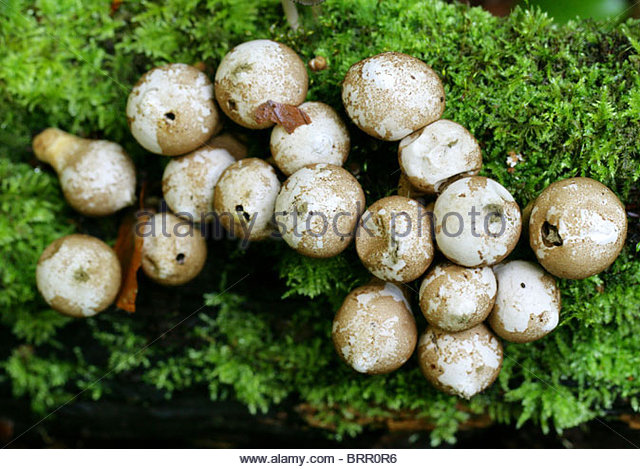 White Mushroom On Log Stock Photos & White Mushroom On Log Stock.