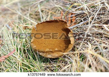 Stock Illustration of lycoperdon bovista in late autumn k13757449.
