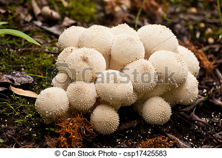 Pictures of Common Puffball mushrooms Lycoperdon perlatum.
