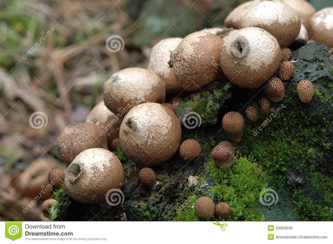 Lycoperdon Pyriforme Fungi Stock Photo.