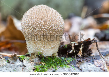 Lycoperdon Perlatum Stock Photos, Images, & Pictures.