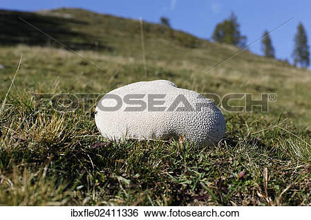 "Stock Images of ""Mosaic puffball (Lycoperdon utriforme) on a."