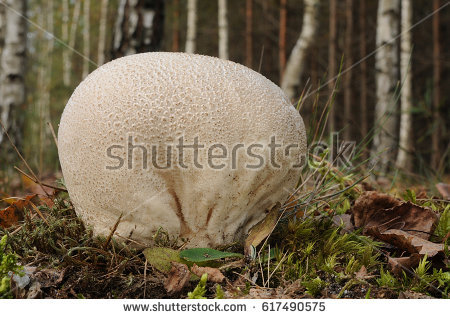 Lycoperdon Stock Images, Royalty.
