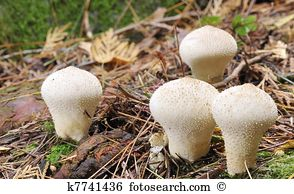 Lycoperdon Stock Photo Images. 162 lycoperdon royalty free.