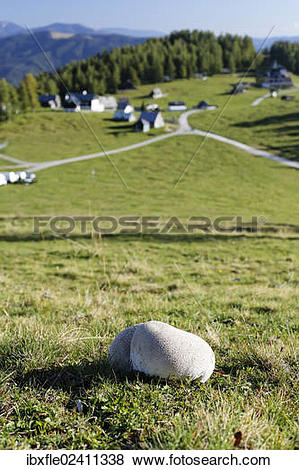 "Pictures of ""Mosaic puffball (Utriforme Lycoperdon) on a pasture."