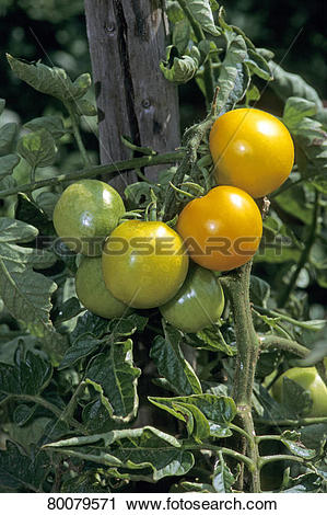 Stock Photography of DEU, 2010: Yellow Tomato (Solanum.