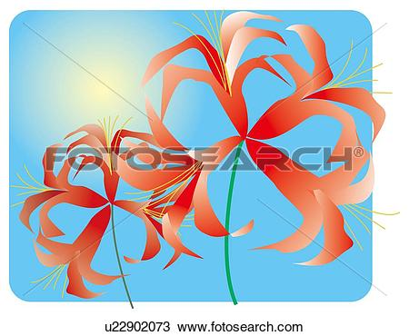 Drawing of Blooms of flowered lycoris u22902073.