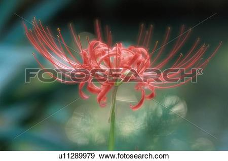 Stock Photograph of Flower Of Lycoris u11289979.