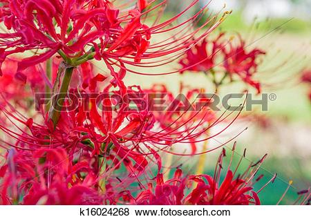 Pictures of red lycoris flowers k16024268.