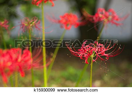 Stock Photograph of vivid red lycoris k15930099.