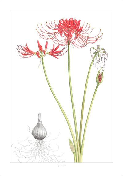 Lycoris radiata, or red spider lily, were said in Japan to line.