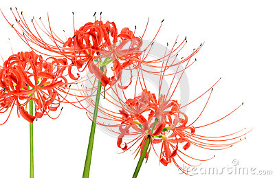 Macro Lycoris Flowers Stock Photo.