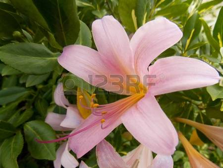 Lily Pink Lily Images & Stock Pictures. Royalty Free Lily Pink.