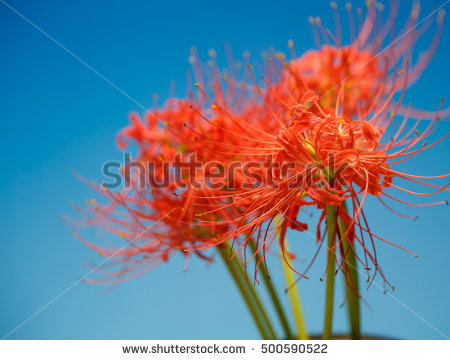 Lycoris Stock Photos, Royalty.