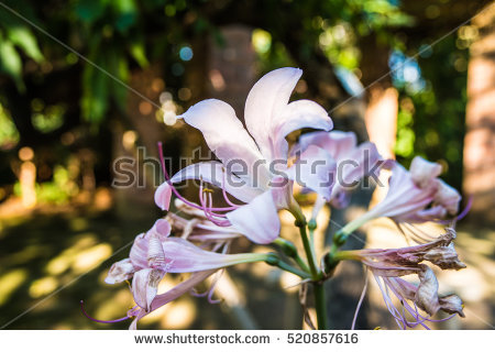 """resurrection_lily"" Stock Photos, Royalty."