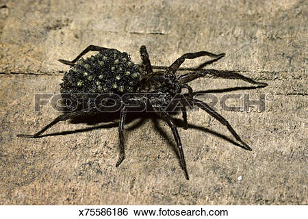 Stock Images of Female Wolf Spider, Lycosidae, with young on back.