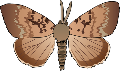 Lymantria dispar (Gypsy Moth).