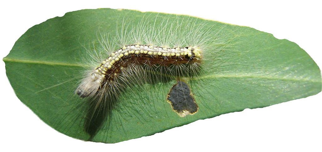 Hairy Caterpillar clipart, lge 16cm wide.