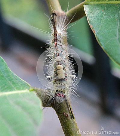 Rusty Tussock Moth Caterpillar Stock Image.