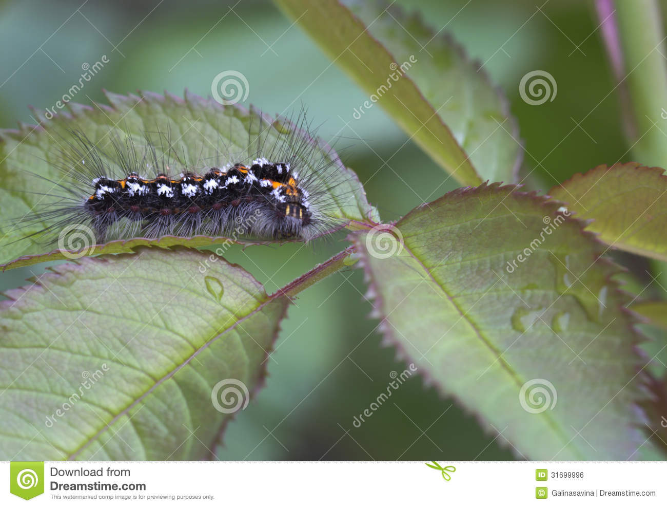 Lymantriidae Free Stock Photos & Pictures, Lymantriidae Royalty.