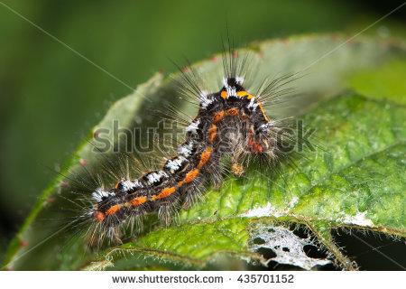 Lymantriidae Stock Photos, Royalty.