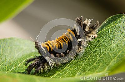 Caterpillar Lymantriidae. Royalty Free Stock Image.