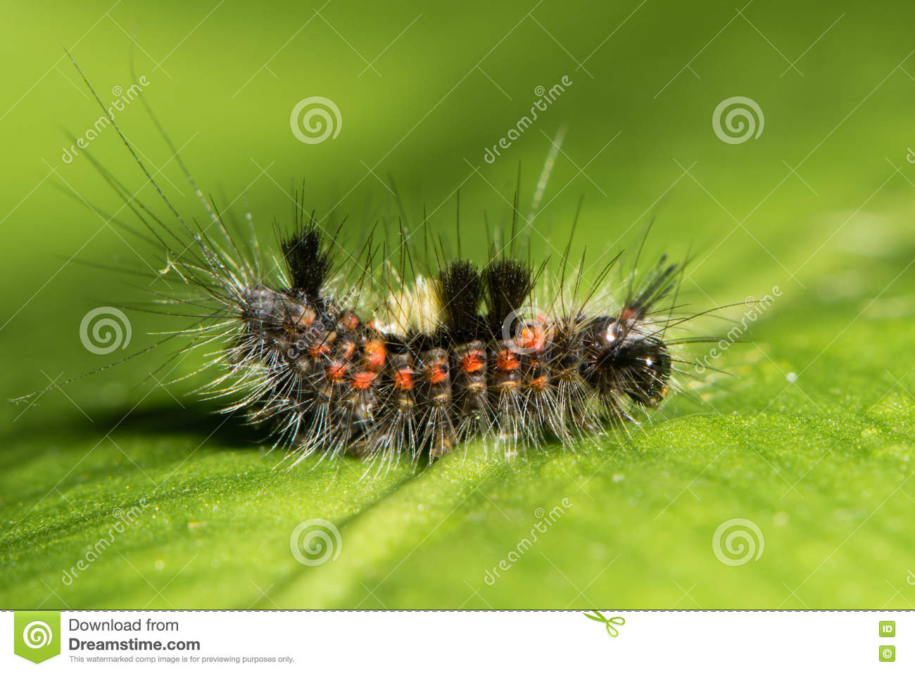 Vapourer Moth (Orgyia Antiqua) Early Instar Caterpillar Stock.