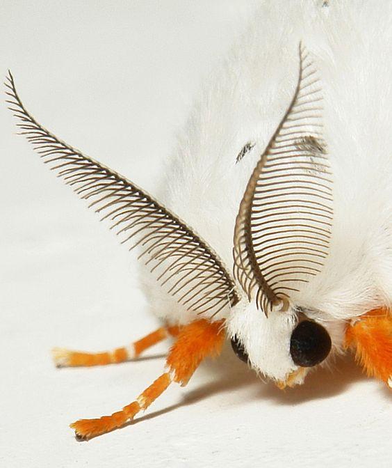 Female Tussock Moth (Lymantriinae, Erebidae), China.