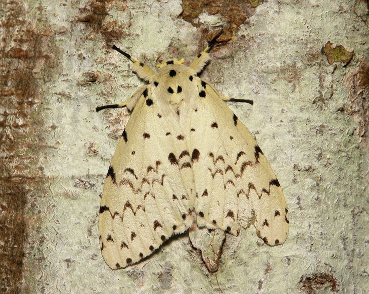 1000+ images about BUTTERFLIES & MOTHS: ADULTS, COCOONS.