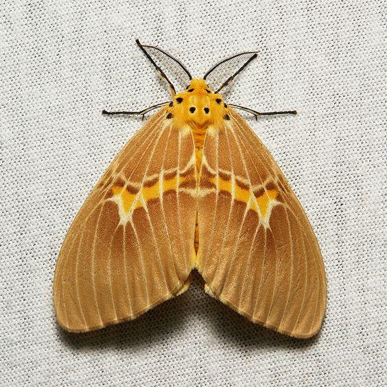Lymantriine Moth (Cispia cf. venosa, Lymantriinae, Erebidae.