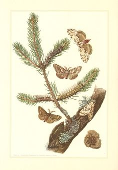 1956 Mountain Apollo Butterfly, Antique Print, Insects.