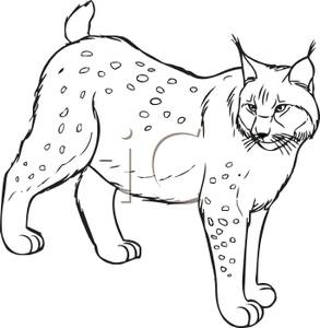 Black and White Cartoon of an Adult Lynx.