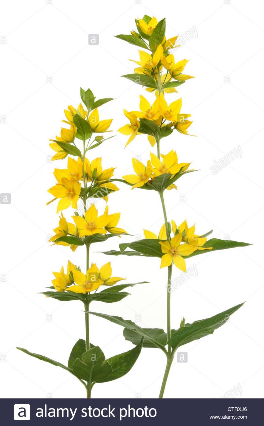 Yellow Loosestrife, Lysimachia Punctata, Wild Flowers And Foliage.