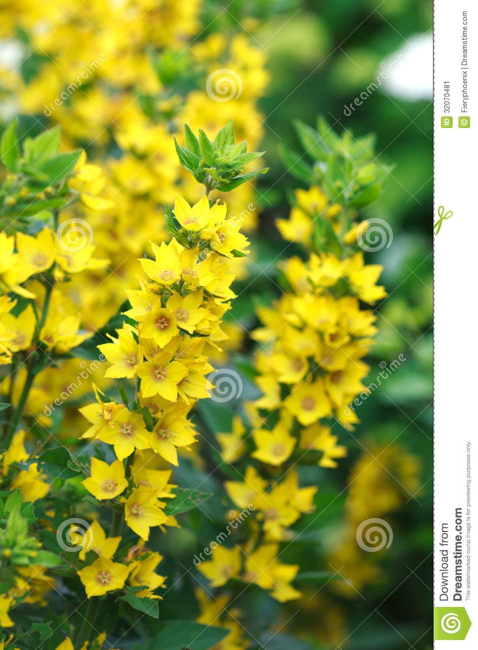 Многолетник с желтыми цветами название - Цветы на даче 1