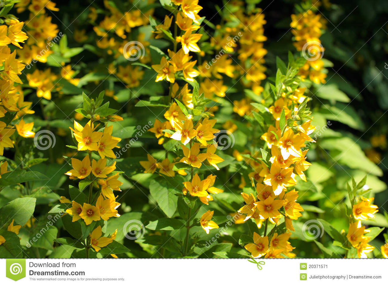 Yellow Loosestrife Lysimachia Punctata Stock Photos, Images.