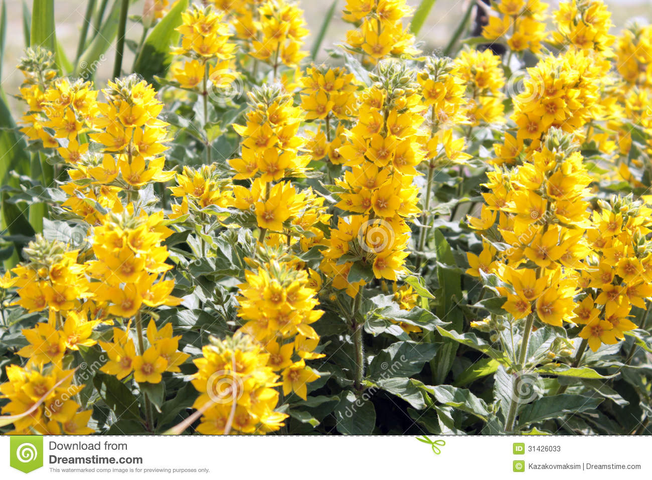 Flowering Yellow Loosestrife.