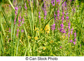 Stock Photography of Yellow loosestrife (Lysimachia vulgaris.