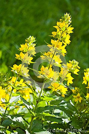 Lysimachia Punctata (Garden Loosestrife, Yellow Loosestrife Or G.