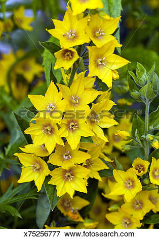 Picture of Perennial Lysimachia Punctata (Loosestrife) x75256777.