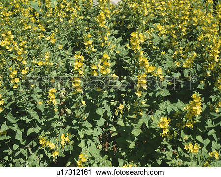 "Stock Photography of Close up of yellow Lysimachia ""punctata."