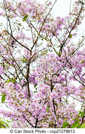 Stock Photography of Lagerstroemia loudonii or Salao flower.