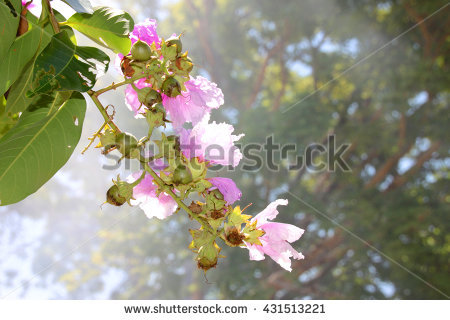 Lythraceae Stock Photos, Royalty.