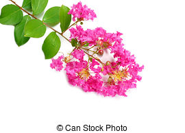 Pictures of Lythraceae Lagerstroemia indica L. Beautiful pink.