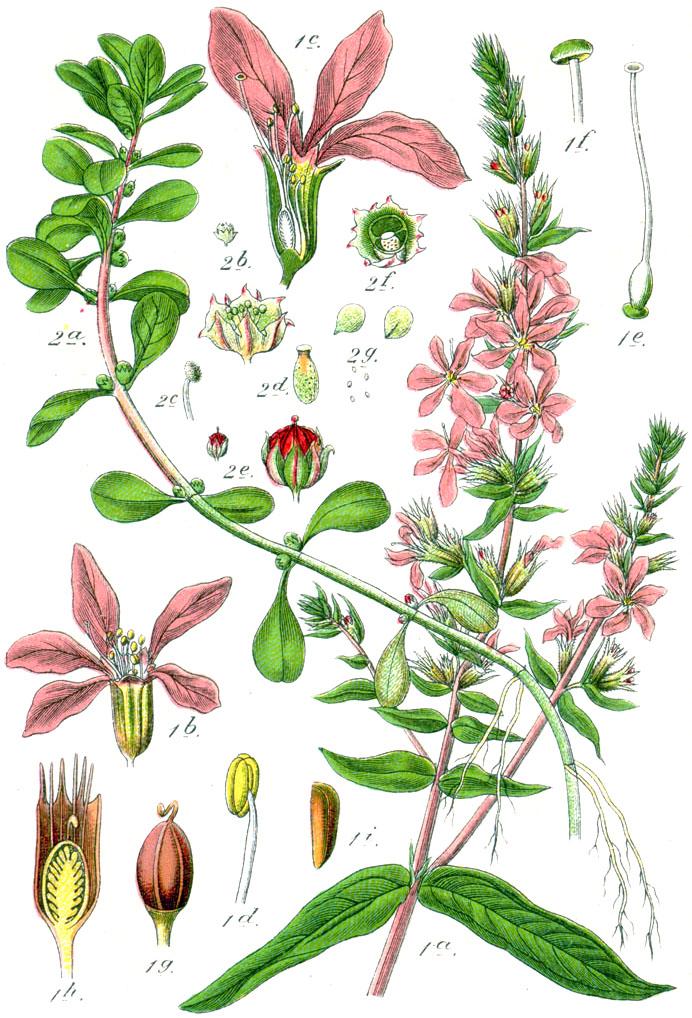 File:Lythraceae spp Sturm46.jpg.