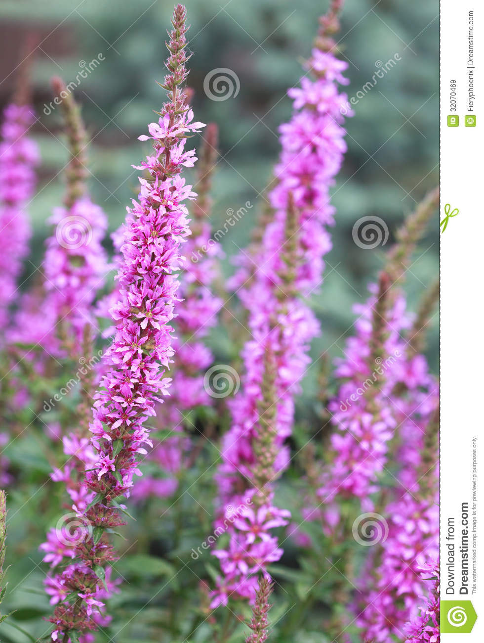 Flowering Purple Loosestrife Plant (Lythrum Salicaria) Or Crybab.