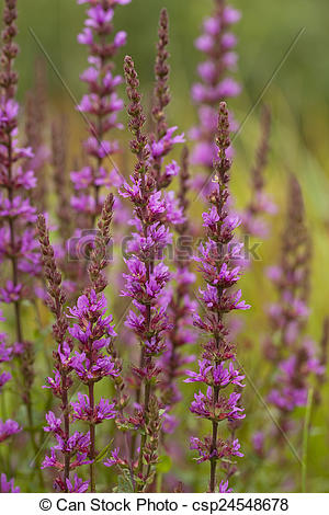 Picture of purple loosestrife.