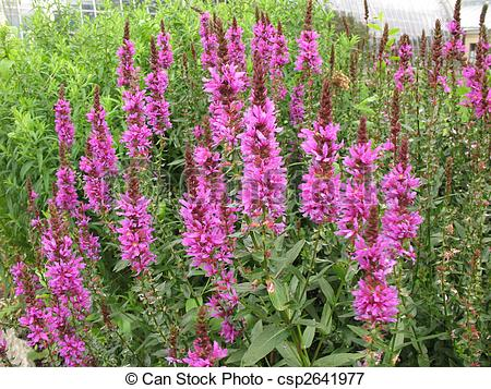 Picture of Violet inflorescences loosestrife (Lythrum salicaria.