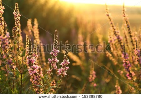 Lythrum Salicaria Stock Photos, Royalty.