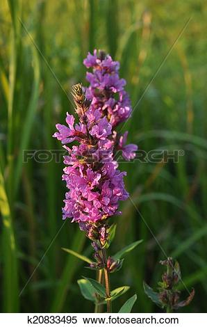 Stock Image of Purple loosestrife, Spiked loosestrife or Purple.