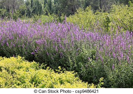 Clipart of lythrum salicaria flowers in full bloom csp9486421.